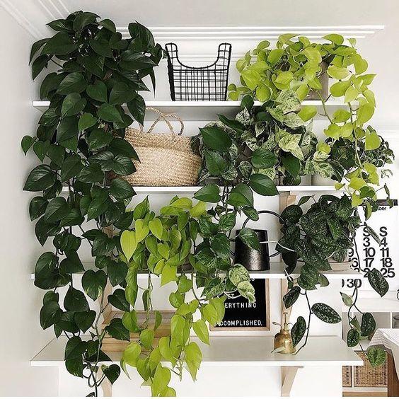 Epipremnum Shelf Indoor Garden Idea