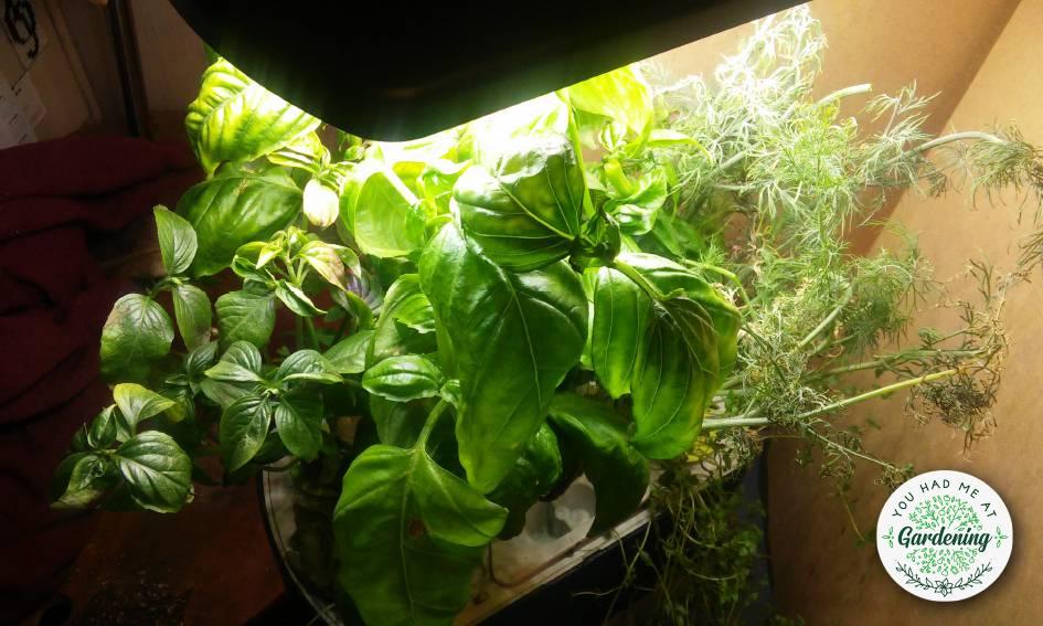 Aero indoor herb garden day 42 update