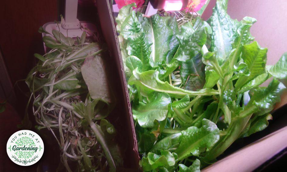Hoctor indoor garden kit - day 42 update
