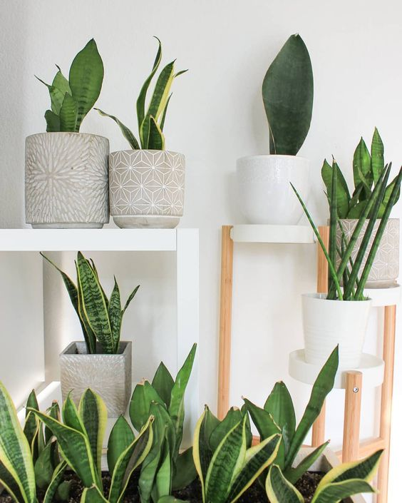 Low-maintenance snakeplants