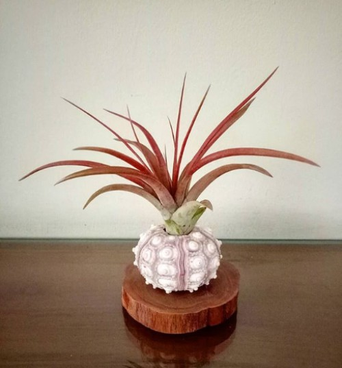 air plant in a sea shell