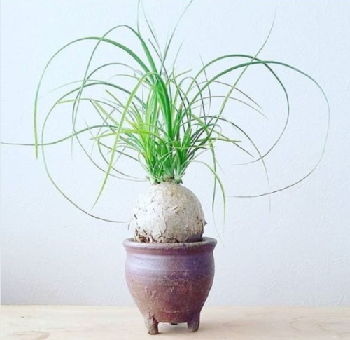 best hard to kill plants - ponytail palm
