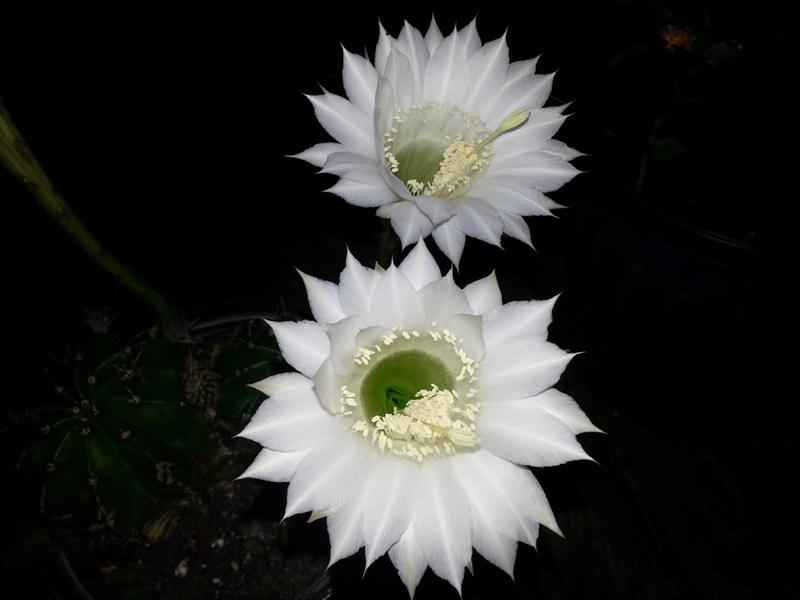 flowering succulents - Easter lily cactus