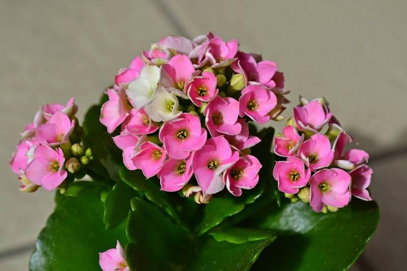 flowering kalanchoe succulent