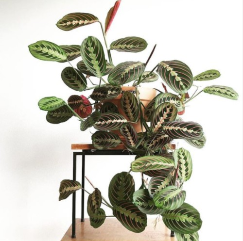 Prayer plant arrangement