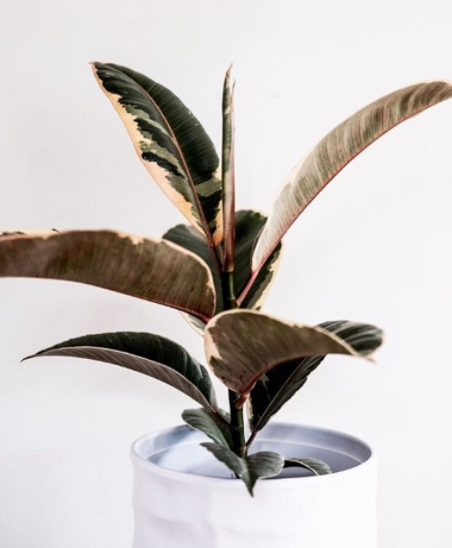rubber tree plant in white pot