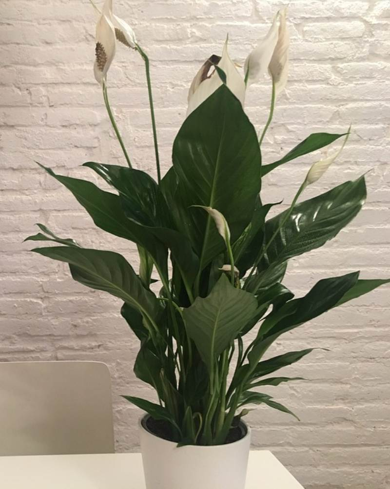 White Peace Lily for a good rest