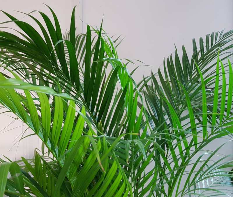 Areca plant - best plants for your bedroom