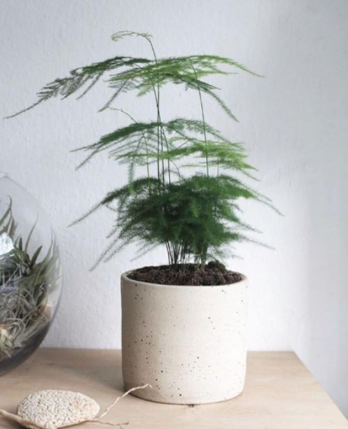 a hard to kill plant - the asparagus fern