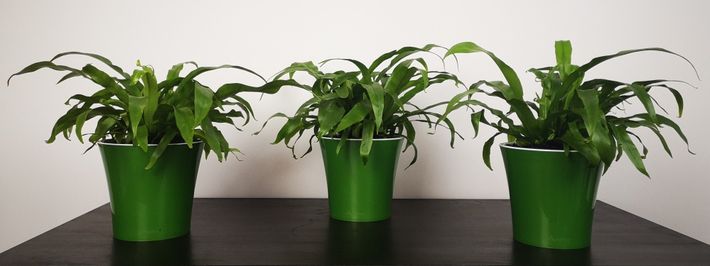 asplenium nidus plant experiment