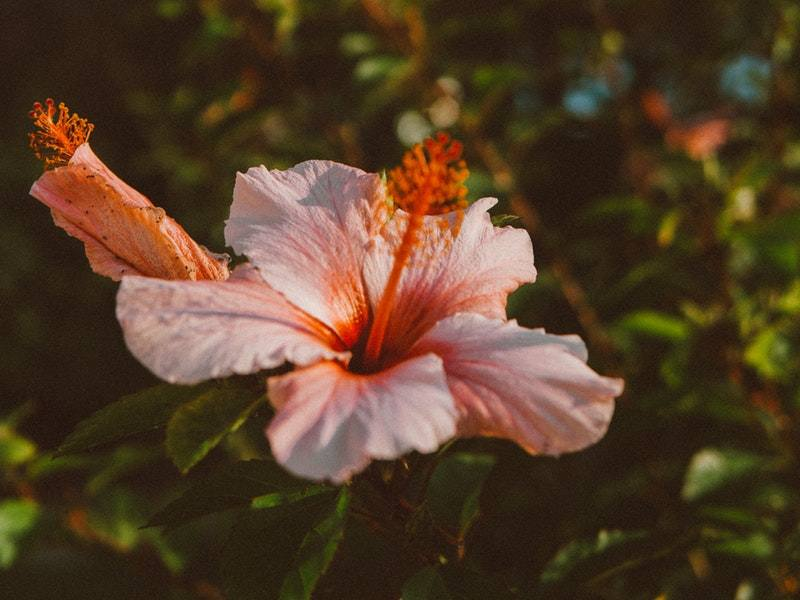 Hibiscus Care Guide For The Beginner Gardener You Had Me At Gardening