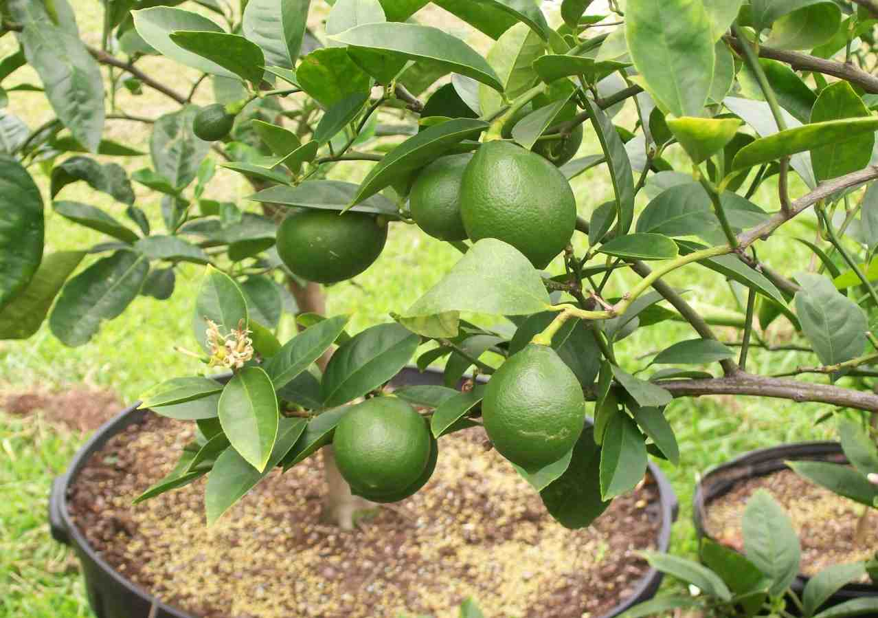 how to fertilize a lemon tree