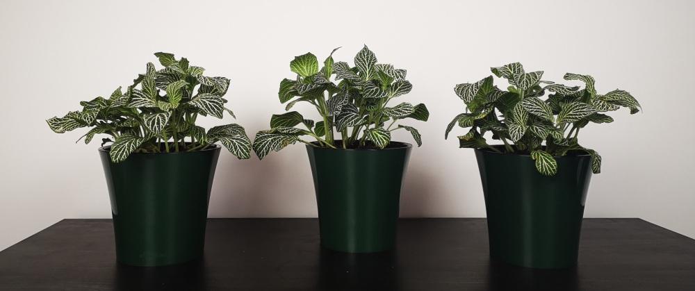 Fittonia Albivenis Nerve Plant