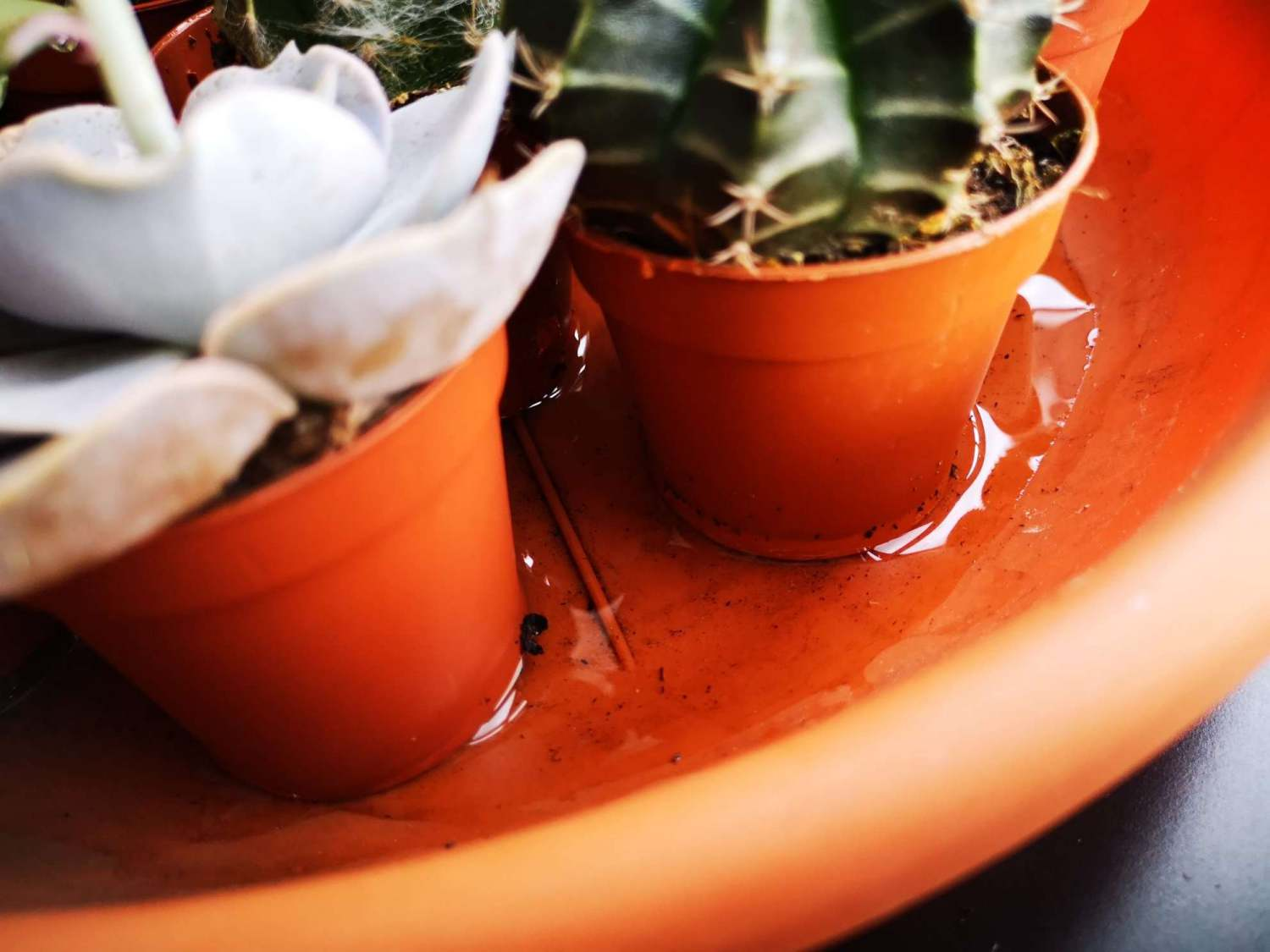 succulent care guide - water in the pot