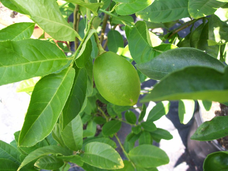 lemon forming on a lemon branch