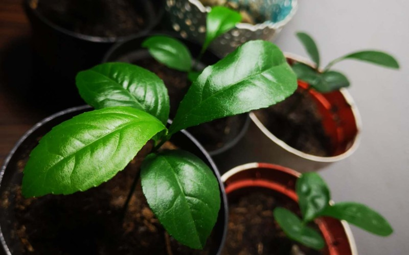 how to grow a lemon tree from seed - first leaves