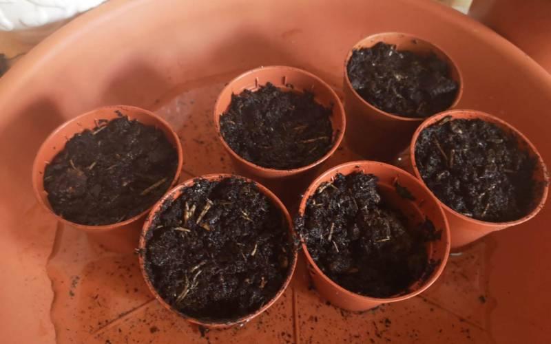 how to grow a lemon tree: planting the seeds