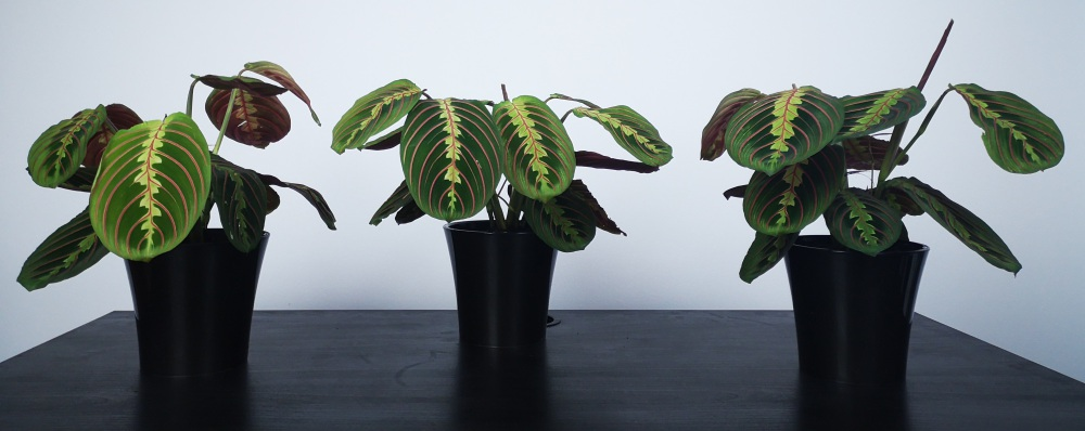Prayer Plant experiment group