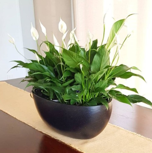 Peace Lily indoor pot arrangement