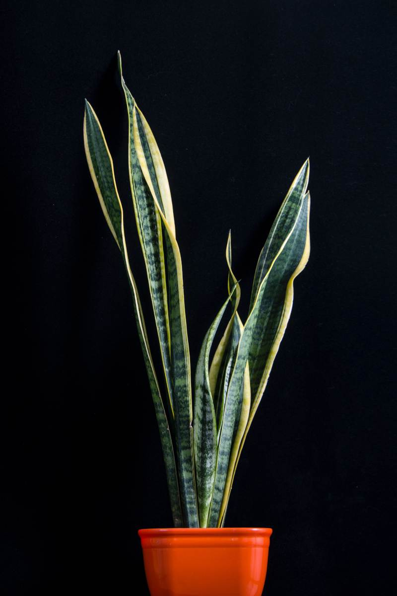 best plants for bedroom - Snake Plant