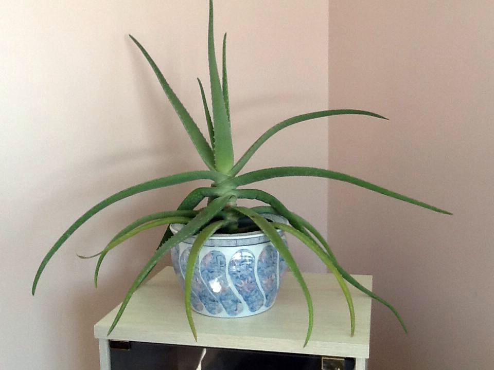 aloe vera succulent