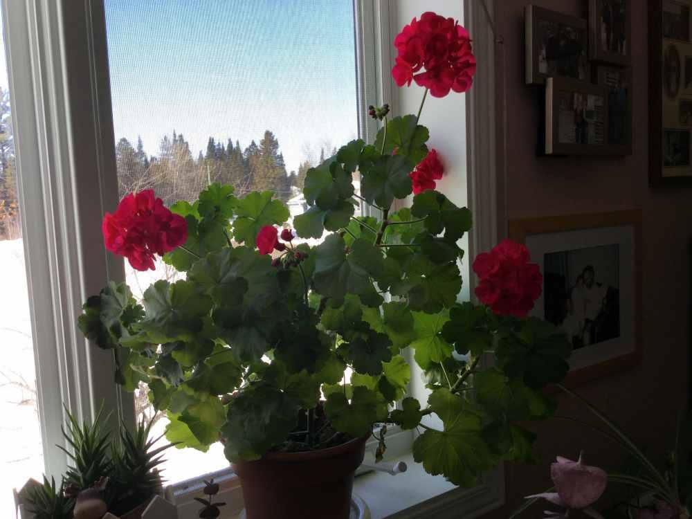 geranium care guide - geraniums thriving indoors