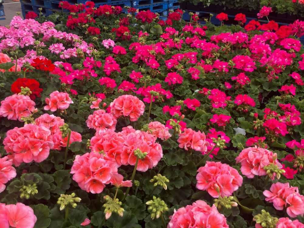 Geranium care guide - geraniums in bloom