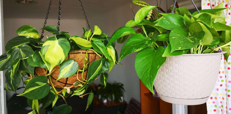 hanging philodendron genus