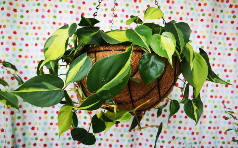 philodendron care guide