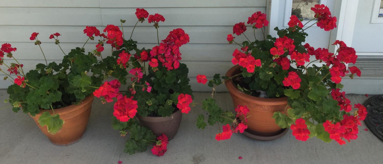 Geranium pots on the porch