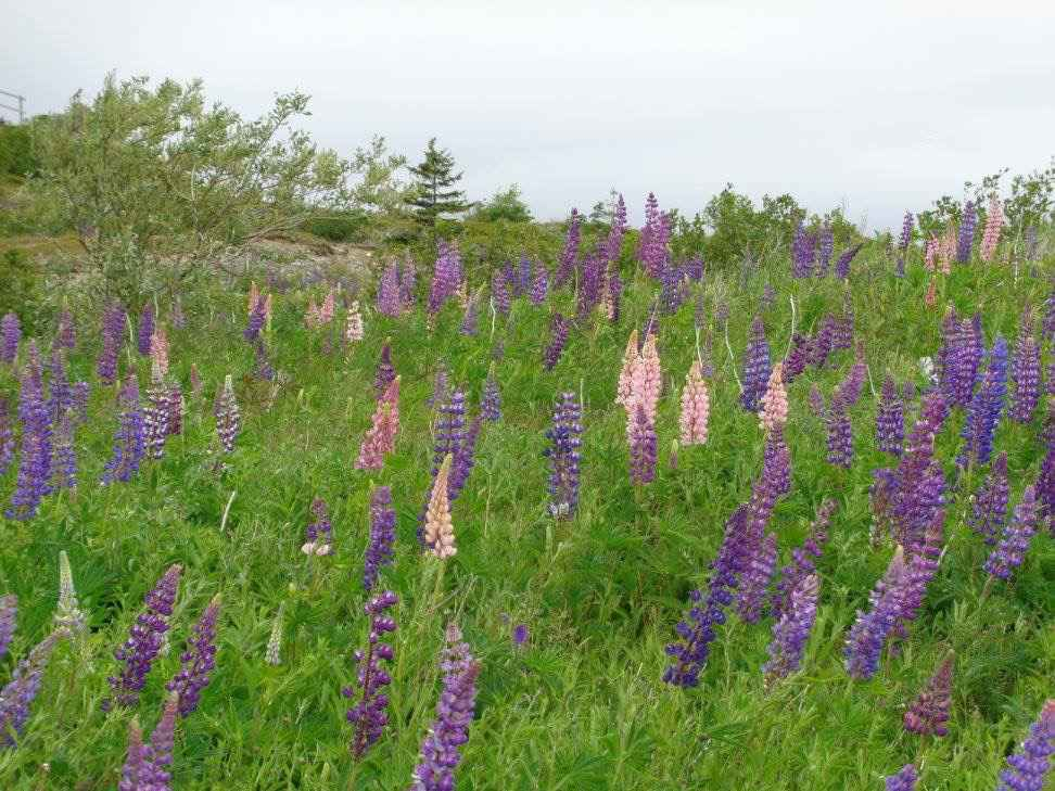 lupine plant care guide - field of lupines