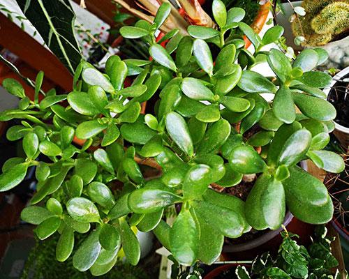 jade plant care crassula ovata