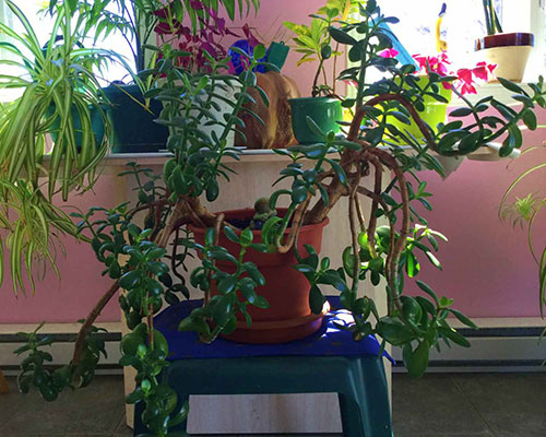 old jade tree plant with many leaves