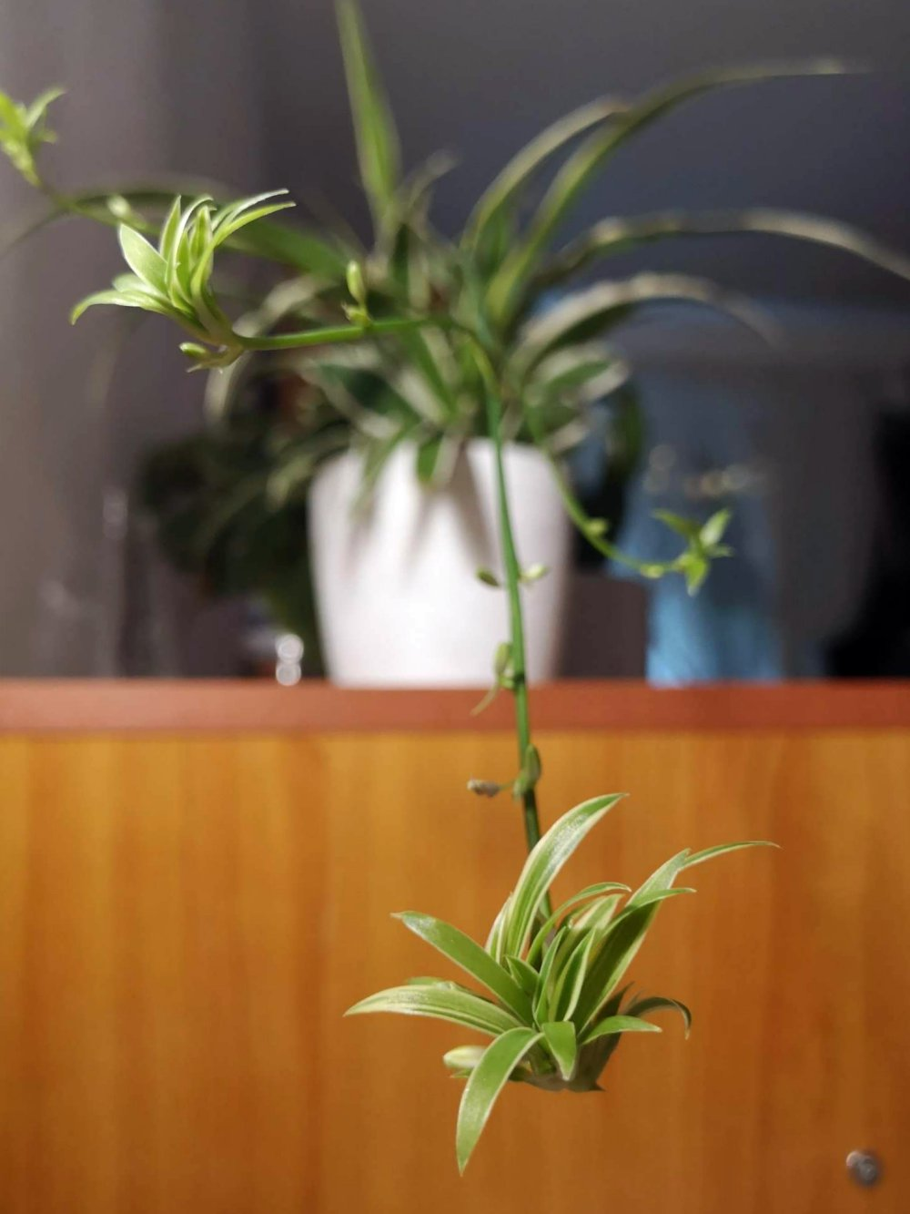 Spider plant care guide - close-up