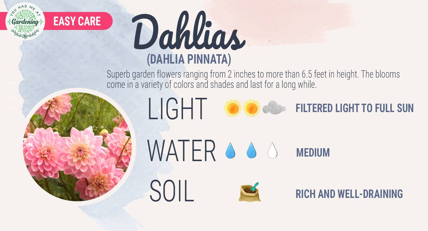 Dahlia care guide sheet