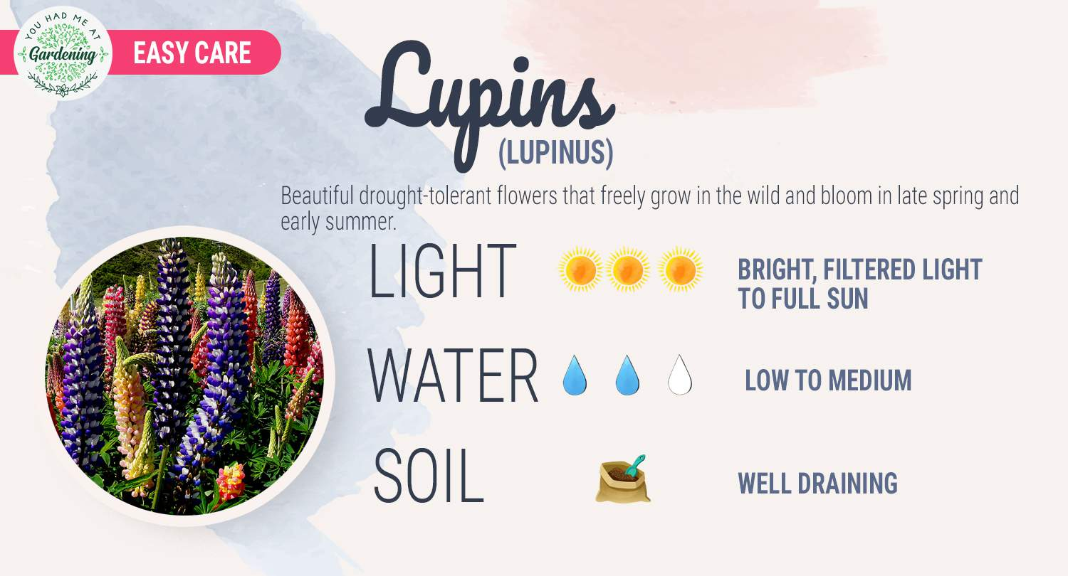 lupine plant care guide sheet