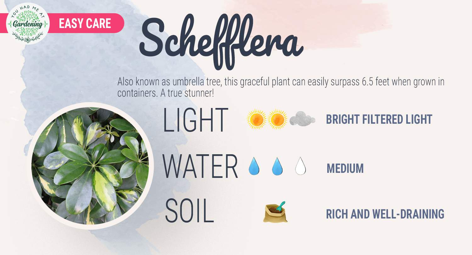Umbrella plant care sheet - Schefflera guide