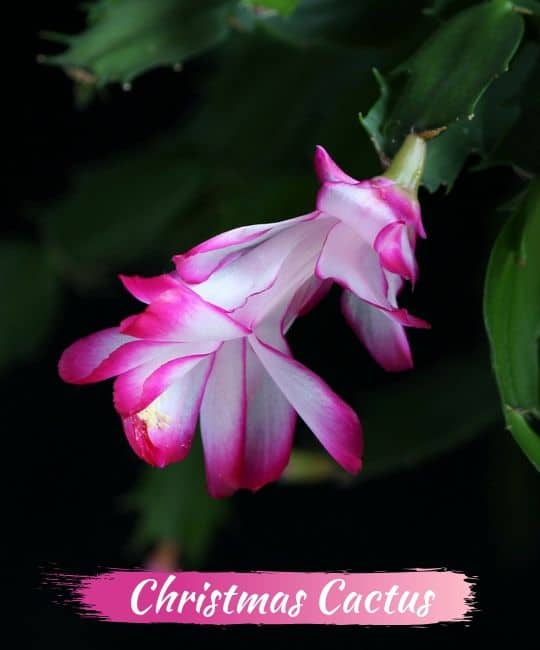 Are Christmas Cactus Poisonous.The 21 Best Winter Flowers How To Care For Them Yhmag