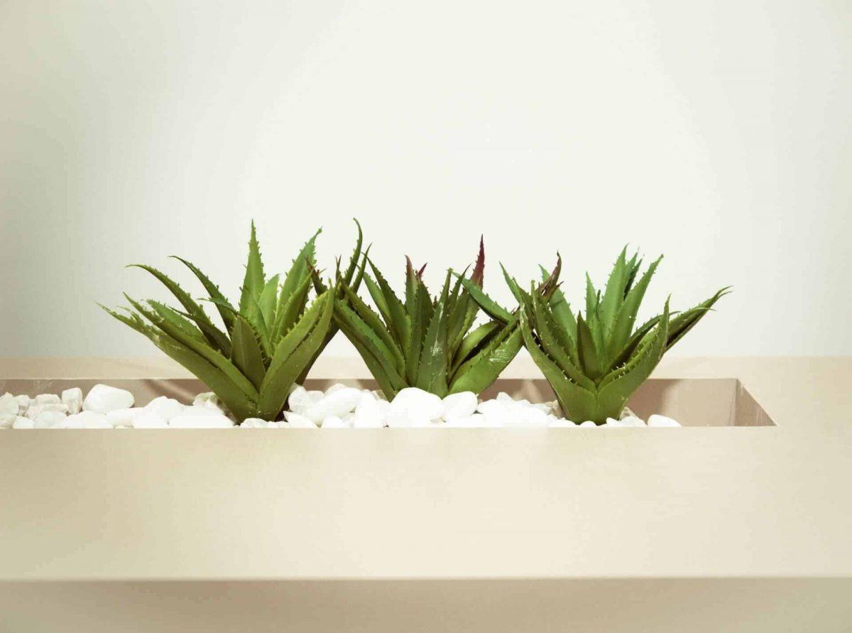 aloe vera plant care guide