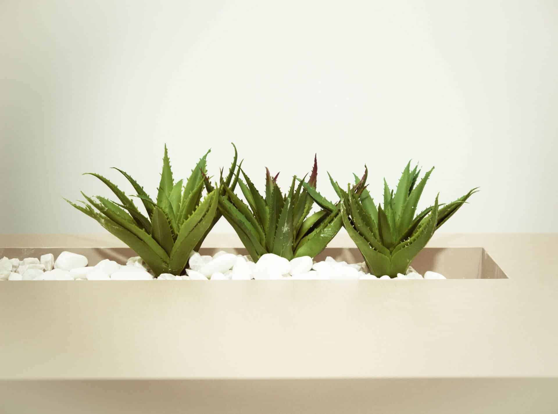 how to propagate Aloe