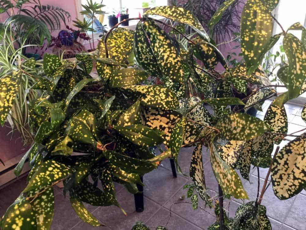 aucuba japonica, gold dust plant care