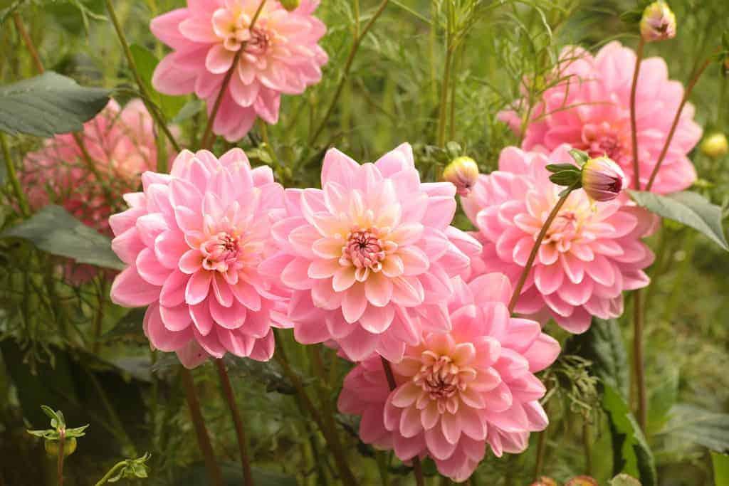 pink-dahlias