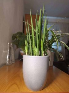 Snake Plant Care tips: a healthy plant