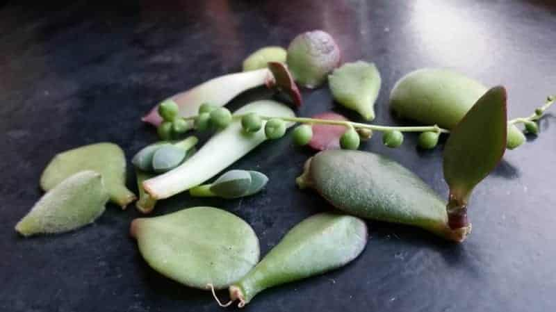 succulents ready to be propagated