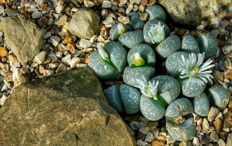 how to grow succulents from seeds - lithops flowers