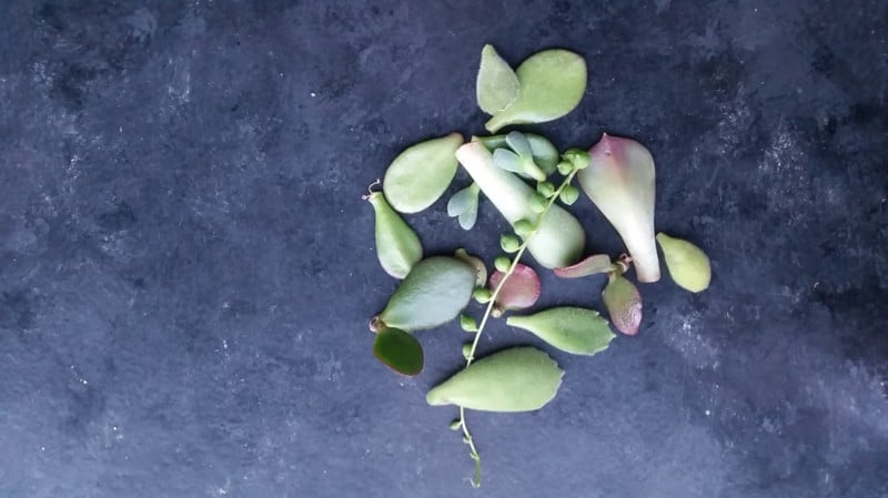 ways to propagate succulents