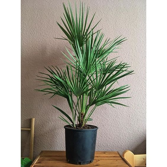 European Fan Palm Indoors