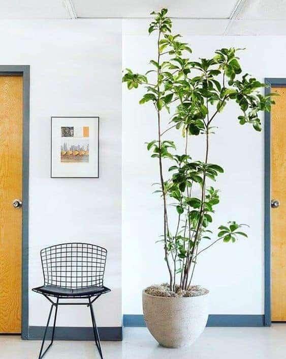 Corynocarpus Laevigatus Indoor