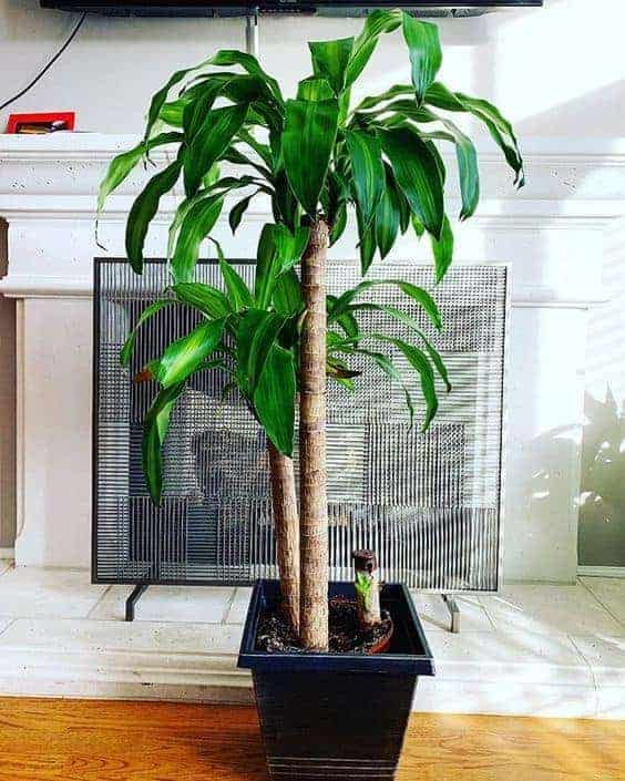 Huge Indoor Corn Plant Dracaena Tree