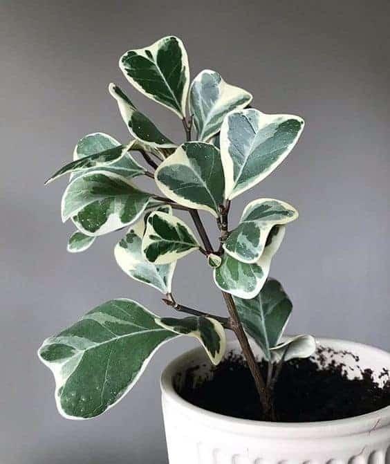 Triangle Ficus